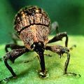Boll weevil sucks green cotton boll