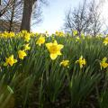 Blooming, yellow daffodils in the sunshine.