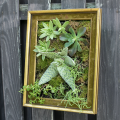 Bright green sedums displayed in a gold picture frame.