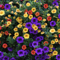 A group of purple, yellow, and red petunias.