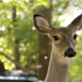 A close-up of a white-tail deer's face.