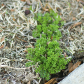 Bright green burweed in a patch of dead grass.