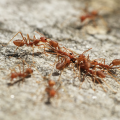 Fire ants.