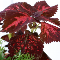 A closeup of a red variegated coleus plant.