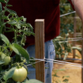 A wooden stake is wrapped with white string to support the adjacent tomato plant. A man stands behind the stake and points to the string.