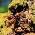 An Asian hornet on a rock.