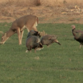 A young buck grazes behind four turkeys in a green, grassy food plot.