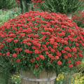 A large, red mum.