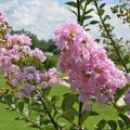 Green leaves cover branches that end in pink crape myrtle blossoms.