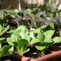 Miniature green bok choi plants grow in small window box containers.
