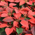 A group of red poinsettias.