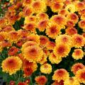 A group of yellow, orange and red flowers.