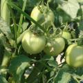Harvest is about a week away for these tomatoes on the Mayhew Tomato Farm in Lowndes County. Owner Mel Ellis says he expects to begin harvesting around June 5.