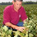 Dennis B. Reginelli, area agronomic crops agent with Mississippi State University's Extension Service, examines drought-damaged soybeans.