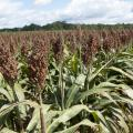 Mississippi's grain sorghum yields are projected to be 77 bushels per acre, an increase of 3 bushels per acre compared to 2011. (Photo by MSU Ag Communications/Kat Lawrence)