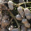With peanut harvest near the halfway mark in Mississippi by Oct. 10, 2014, growers were seeing above average yields and quality pods. (File Photo by MSU Ag Communications/Kat Lawrence)