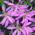 Long, narrow lavender flower petals open wide among the dark green leaves.