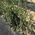 The leaves of green tomato plants droop on the plants