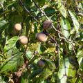 Several ripe persimmons hang from tree branches surrounded by green leaves.