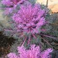 Grayish-purple kale plants are displayed, each with light purple centers.