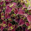 Variegated burgundy and chartreuse coleus laves fill a container.