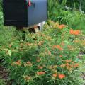 A black mailbox rises above a sea of green foliage and delicate clusters of mostly orange flowers.