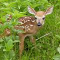 Surrounded by green leaves and grasses, a baby deer with spots looks toward the camera.