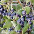 Dozens of dark blue-black berries hang from stems amid green leaves.