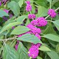 Small purple berries in clumps line branches with green leaves.