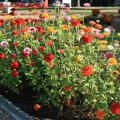 Dozens of brightly colored flowers rise on long, slender stems from a mass planting in a flower bed.