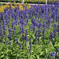 Scores of purple flower spikes rise from a bed of green foliage.