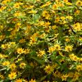 A green bush is covered in scores of yellow blooms.