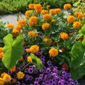 Round, orange blooms cover a plant in a landscape bed with purple blooms and large, green foliage.