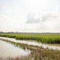 Water stands in a corn field
