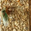 Mississippi is home to several species of cicadas, including this annual cicada. (Photo by MSU Extension Service/Kat Lawrence)