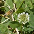 Mississippi State University participated in a recent U.S. Department of Agriculture study that looked at several herbicides' toxicity to honeybees. (Photo by MSU Extension Service/Kevin Hudson)