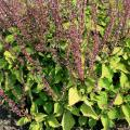 Remove the nonshowy flowers from plants like this coleus to allow the colorful foliage to be the focus. (Photo by MSU Extension Service/Gary Bachman)