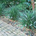 The Evergreen Giant liriope is a good landscape choice for shady areas that need a large presence. (Photo by MSU Extension Service/Gary Bachman)