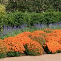 Mums come in colors to fit almost every color scheme. They bloom profusely, making an immediate impact on the landscape. (Photo by MSU Extension Service/Gary Bachman)