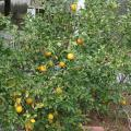 Citrus trees such as this Meyer lemon perform well in Mississippi, but they need protection from cold weather. (Photo by MSU Extension/Gary Bachman)