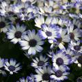Pericallis is a cool-season flowering plant that absolutely loves the brisk temperatures of late winter and early spring. (Photo by MSU Extension/Gary Bachman)