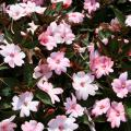 The compact family of SunPatiens has a high heat tolerance and requires little pruning. (Photo by Gary Bachman/MSU Extension)