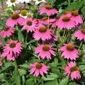 Echinacea Bravado is a popular coneflower that makes for a sturdy landscape plant. (Photo by Gary Bachman/MSU Extension Service)
