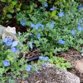 Blue Daze evolvulus spreads rapidly and makes a good ground cover. Its funnel-shaped flowers are sky blue and only open for one day. (Photo by MSU Extension/Gary Bachman)