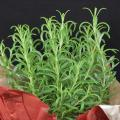 Herb plants make excellent gifts, as they can add beauty to indoor décor and good flavors to holiday meals. (Photo by MSU Extension/Gary Bachman)
