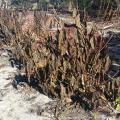 Temperatures as low as 12 degrees in Tupelo and 23 degrees in Ocean Springs froze many plants this past weekend. These Quad Color Clerodendrons were scorched brown by the freeze. (Photo by MSU Extension/Gary Bachman)