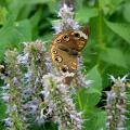 Butterflies, such as this buckeye butterfly, and other plants, animals and insects will be counted during the Mississippi BioBlitz on Sept. 13, 2014, at the Mississippi Museum of Natural Science in Jackson. BioBlitz is a 13-hour event that teams scientists, students, teachers and community members to track down and identify as many local species as possible. (MSU Ag Communications/File Photo)