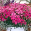 Bouquet Purple dianthus