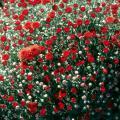 Red Belgian mums
