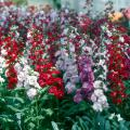 Stock can be grown across the state if they are planted now. They will bloom in the cool season unless it is really cold, in which case they will endure to bloom in early spring.